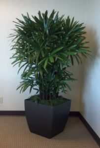 Office Plant - Interior Plant - Palm